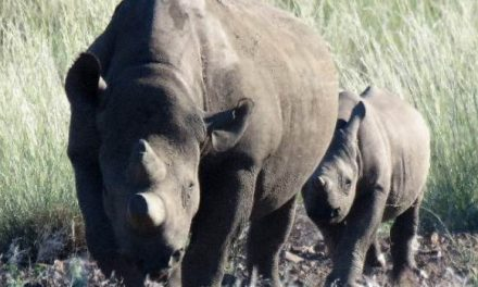 New black rhino baby testifies to the success of protecting every animal individually – more funding required