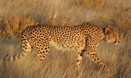 Social media fueling illegal wildlife trade – Cheetah Conservation research