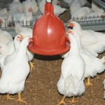 Broiler industry contributes 0.71% to GDP in 2017