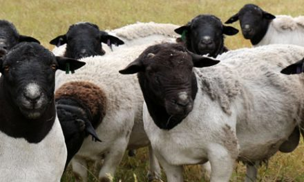 Meat Board adjusts sheep marketing scheme