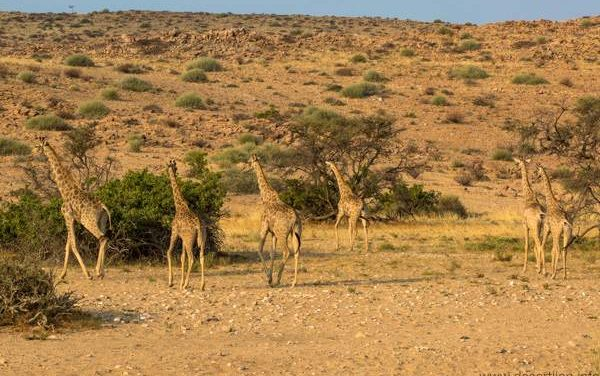 Tracking technology deployed across Africa to monitor giraffe populations and movement