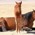 Namib wild horses galloping to extinction – hyenas kill again
