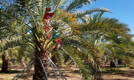 Desert Fruit expects bigger Bahri date harvest as new groves come into full production