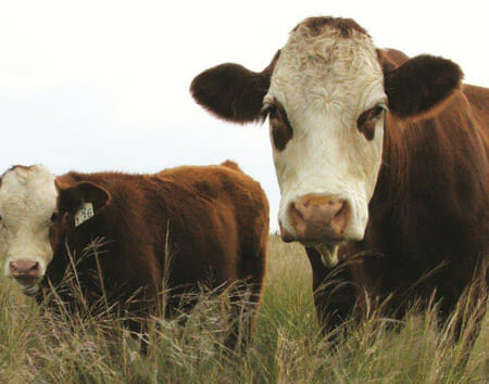 Meatco lowers feedlot intake weight to 220 kg