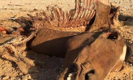Hyenas continue to decimate feral horses of the Sperrgebiet National Park