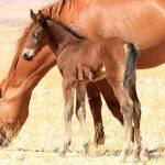 Environment ministry comes out in defense of the Namib's wild horses