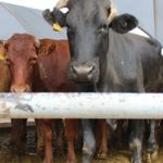 Cattle production, exports significantly drops in Q1