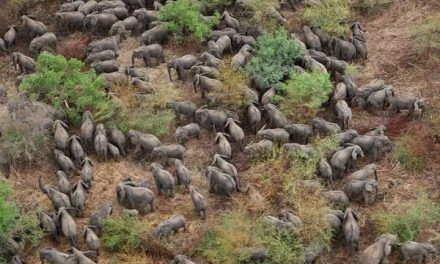 What to do with 130,000 elephants? – environment chamber supports Botswana's course on elephant populations