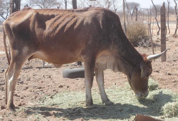 Drought relief suffers under tight economy – disaster fund starts subsidies for animal feeds