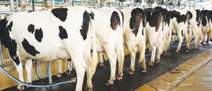 Tough times ahead for local dairy industry anticipated – Agriculture Union