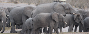 Local Jumbo population continues to grow, thanks to the conservation model
