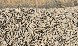 Import ban on mahangu, white maize cereals lifted as drought sets in