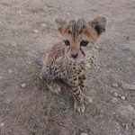 Cheetah Conservation Fund receives funding from the United Kingdom to block cheetah smuggling in north-east Africa