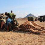 Namibia's giraffe foundation fits GPS satellite trackers to reticulated giraffe in northern Kenya