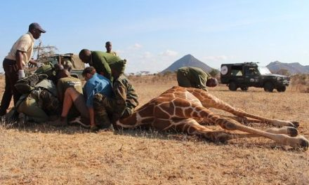Namibia's giraffe foundation fits GPS satellite trackers to reticulated giraffe in northern Kenya