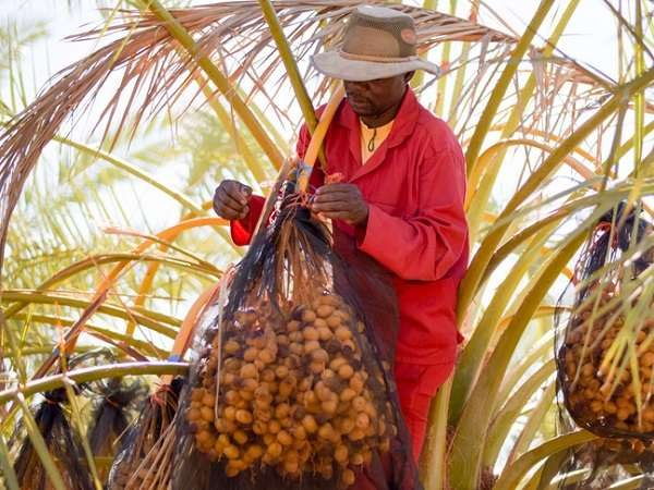 Ariamsvlei date producer gearing up for new harvest of fresh dates early 2020