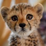 Namibia, Somaliland to drive the worldwide observance of the 9th International Cheetah Day