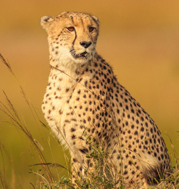 Cheetah Conservation Fund to play a pivotal role in reintroducing the extinct cheetah in India