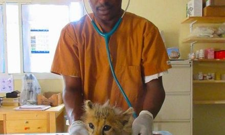 Cheetah Conservation Fund rescues one more cheetah cub in Somaliland