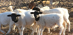 Livestock sector under severe strain