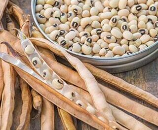 Agriculture ministry to introduce five new cowpea seed varieties to ensure food security at both household and national level