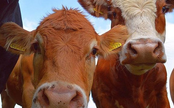 Directorate of Veterinary services implements quota system for purchasing cattle ear-tags