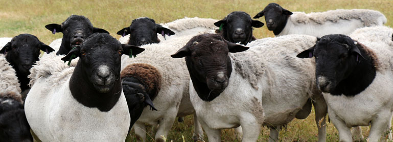 Local sheep prices increase in May