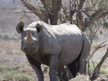 B2Gold supports community-backed rhino conservation in north-west Namibia