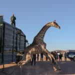 Communal Conservancies giraffe populations get boost – 30 giraffes translocated in move to increase genetic diversity