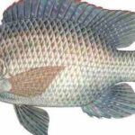 Aquaculture – the future of fisheries through Nile tilapia, ornamental fish, mariculture and fish feed production