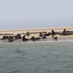 Cape fur seals deaths at Pelican Point breach 7000 mark