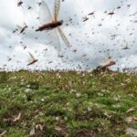 Environmental Fund helps fight locust outbreak in north-eastern regions