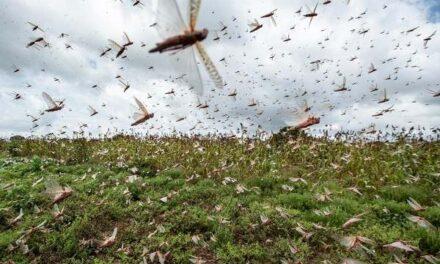 Environmental Fund helps fight locust outbreak in north-eastern regions