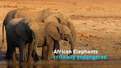 African Wildlife Foundation supports decision to classify the elephant as critically endangered