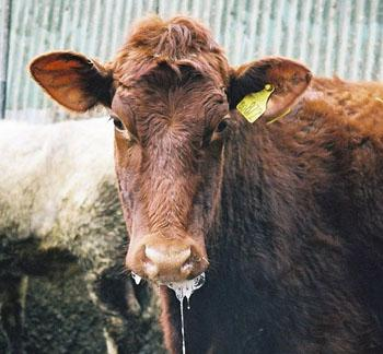 Livestock producers will redouble efforts to uphold foot-and-mouth disease free status