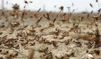 Second wave of migratory locusts outbreak more severe than the first – Minister