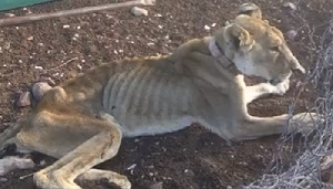 Kunene lioness put down to avoid opportunistic predation at settlements
