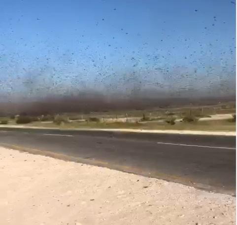 Massive locust swarms invade Ohangwena, Oshana and Omusati