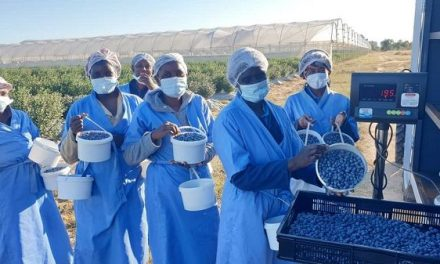 Mashare Berries kicks off second blue berry harvest for local and export market